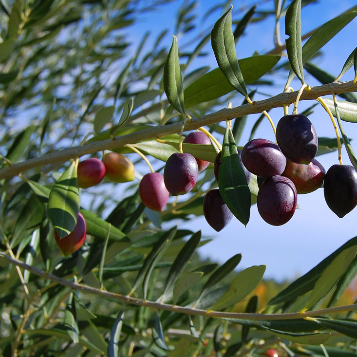 South Lea Olives